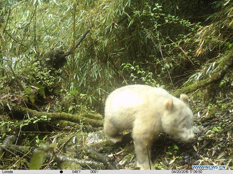 CHINA-SICHUAN-ALL-WHITE PANDA (CN)