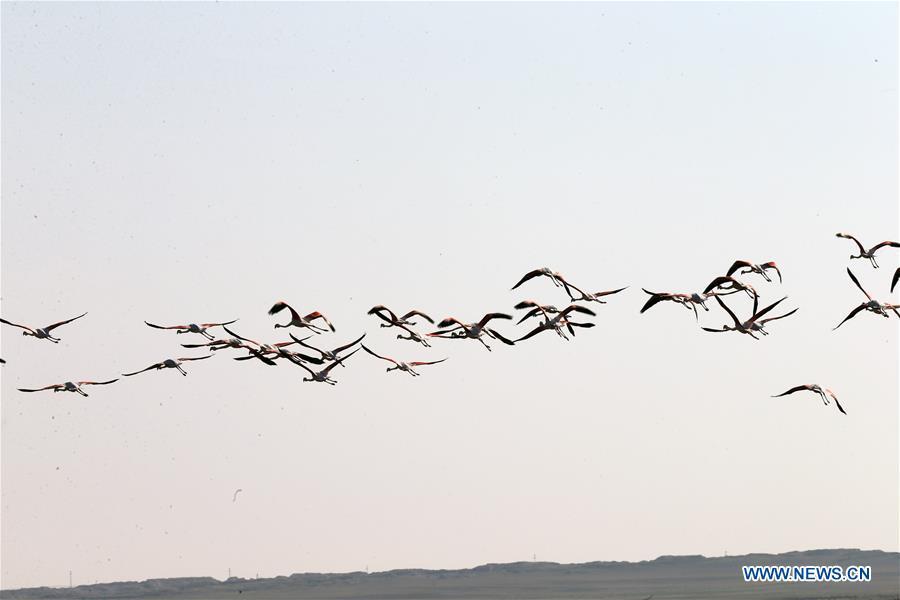 火鸟群看见在Tuz湖在科尼亚,土耳其
