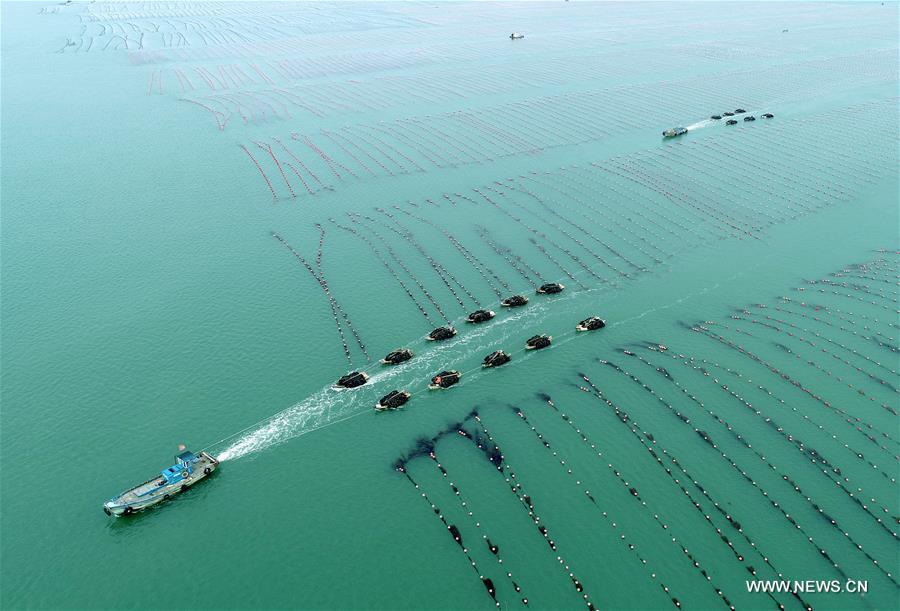 #CHINA-SHANDONG-RONGCHENG-KELP HARVEST (CN)