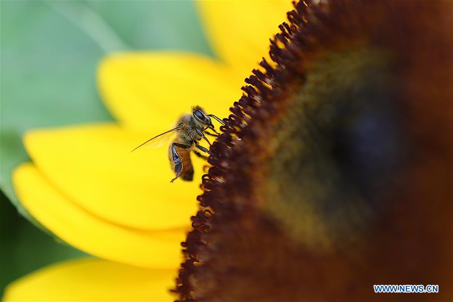 THE PHILIPPINES-QUEZON CITY-BEE-SUNFLOWER