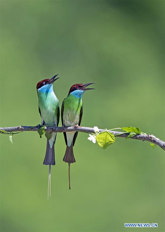 CHINA-FUJIAN-NANPING-BLUE-THROATED BEE EATERS (CN)