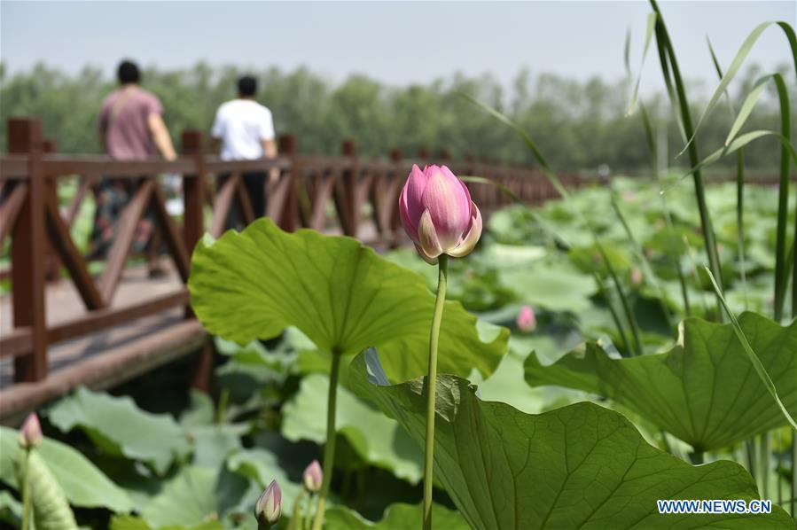 Blooming Lotus Flowers Attract Lots Of Tourists In Hebei Xinhua
