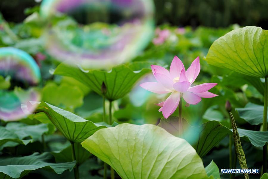 CHINA-YUNNAN-KUNMING-LOTUS FLOWERS (CN)