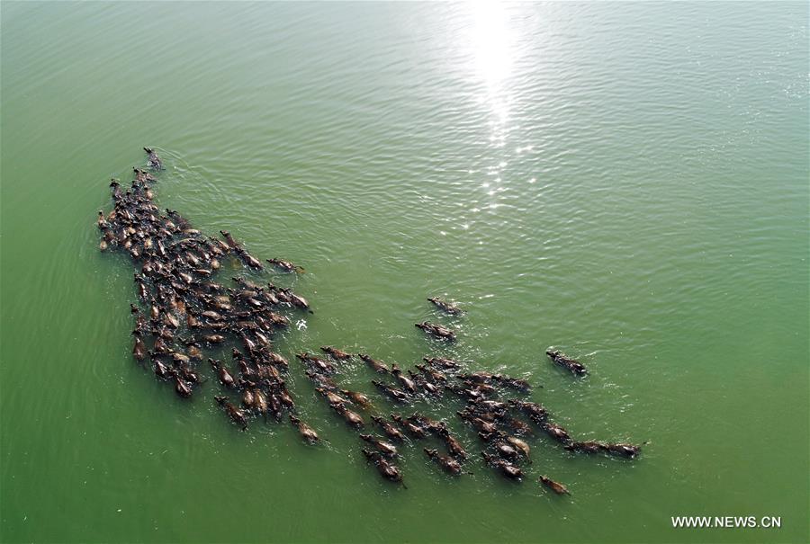 #CHINA-SICHUAN-NANCHONG-BUFFALOS-CROSSING RIVER(CN)