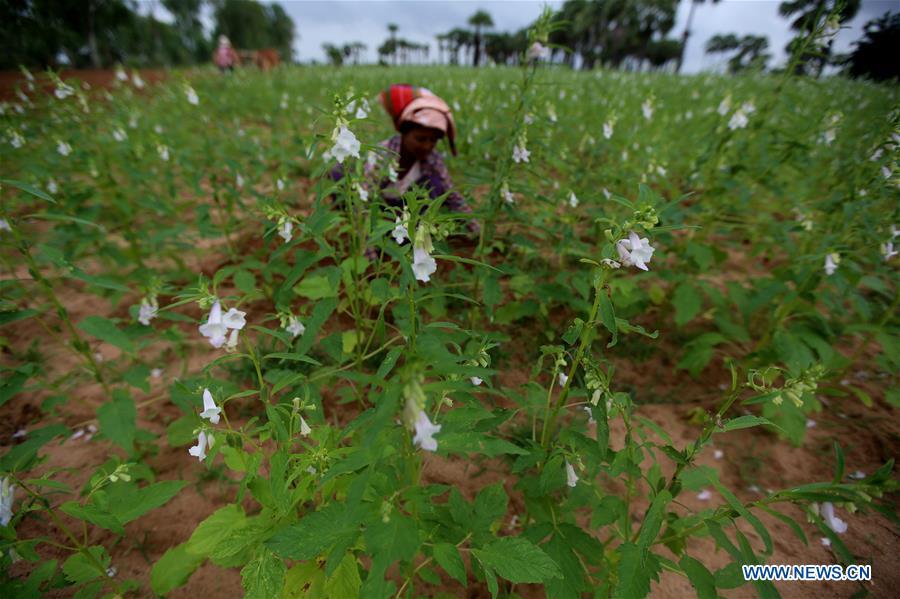 MYANMAR-MAGWAY-SESAME PLANTING