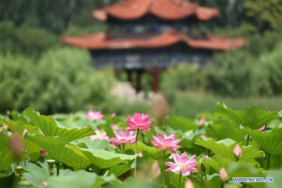 CHINA-INNER MONGOLIA-HOHHOT-LOTUS FLOWER (CN)