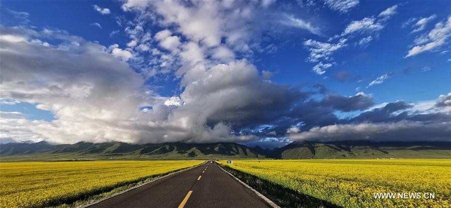 #CHINA-QINGHAI-MENYUAN-COLE FLOWER (CN)