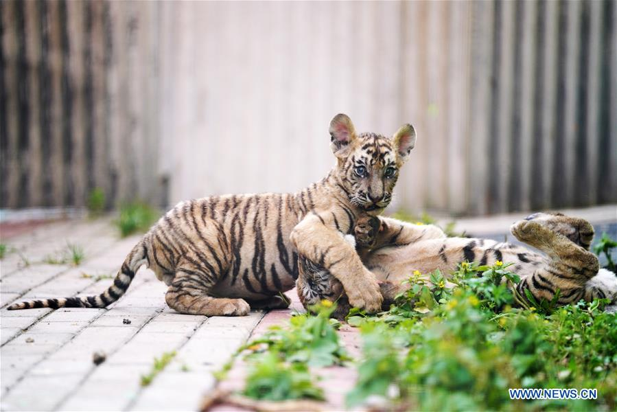 CHINA-HEILONGJIANG-HAILIN-SIBERIAN TIGER CUB (CN)