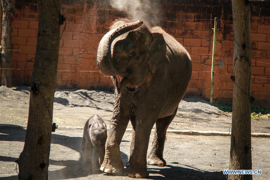 9 Day Baby Sumatran Elephant Seen In Malang Indonesia Xinhua English News Cn