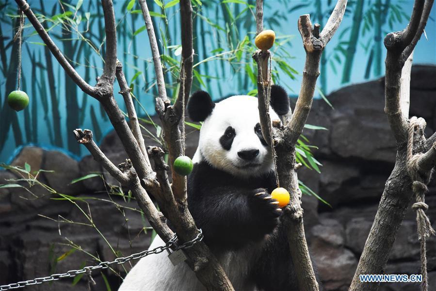 CHINA-JINAN-GIANT PANDA-SUMMER (CN)