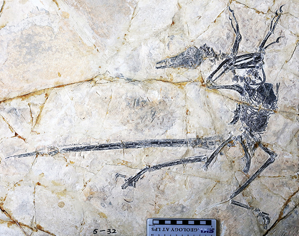 New lizard species found in flying dinosaur fossil - Xinhua | English.news.cn