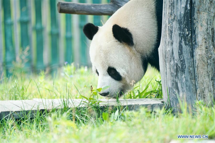 CHINA-HEILONGJIANG-GIANT PANDAS (CN)