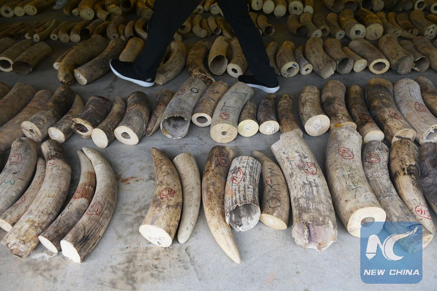 Singapore seizes largest number of elephant ivory - Xinhua | English