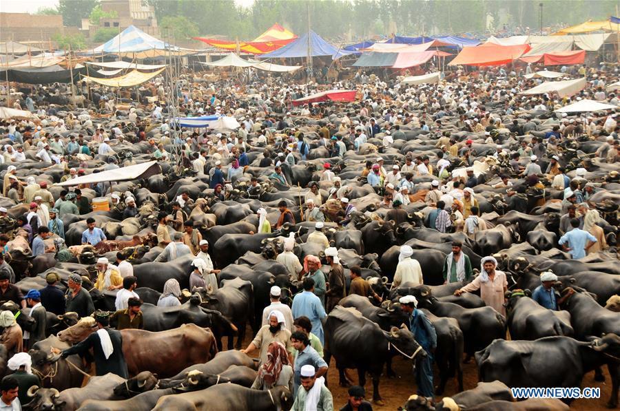 巴基斯坦白沙瓦 - 開齋節古爾邦節牲畜
