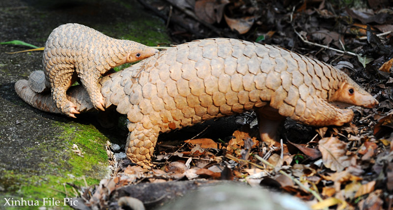 China mulls upgrading protection level of pangolin as its population showed marked decline - Xinhua | English.news.cn
