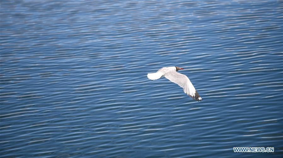 CHINA-TIBET-NGARI-BIRD (CN)