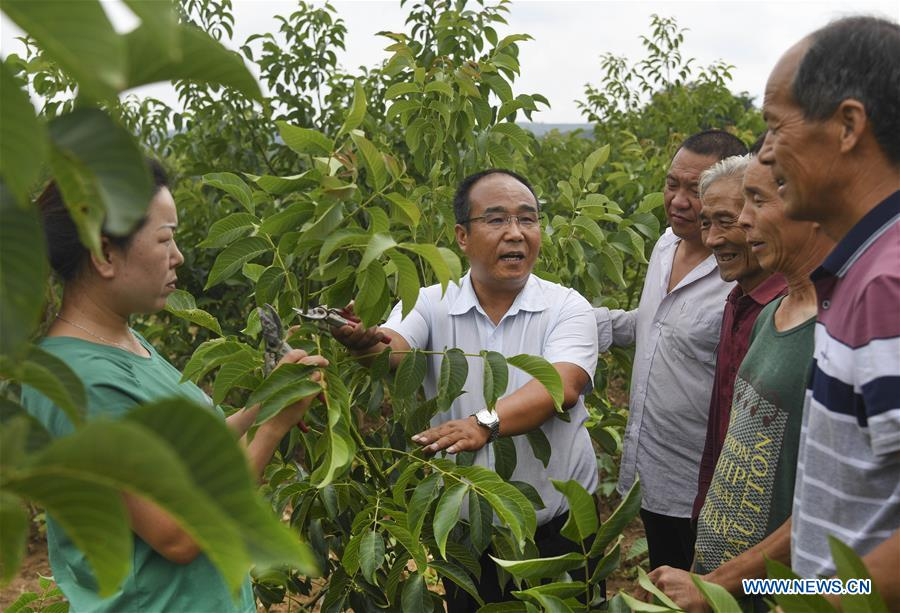 Planting of walnut with red kernels lifts locals out of poverty in