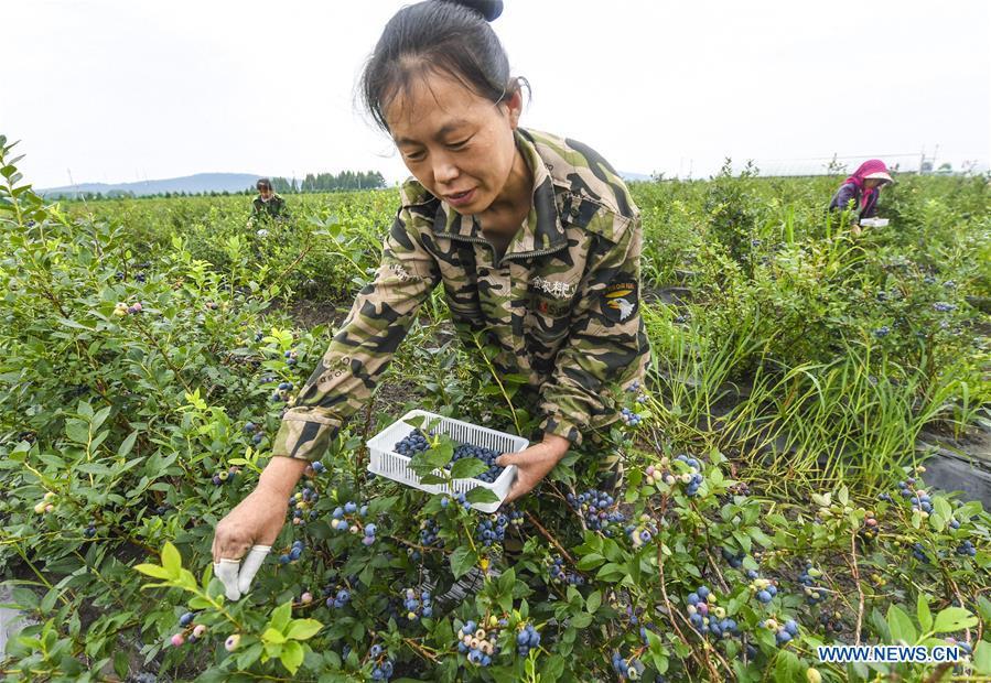 中國 - 黑龍江 - 藍莓 - 收獲(中國)