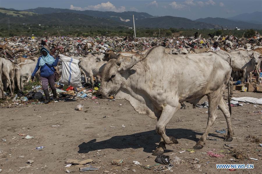 印度尼西亚 - 帕劳 - 垃圾填埋场 - 牛