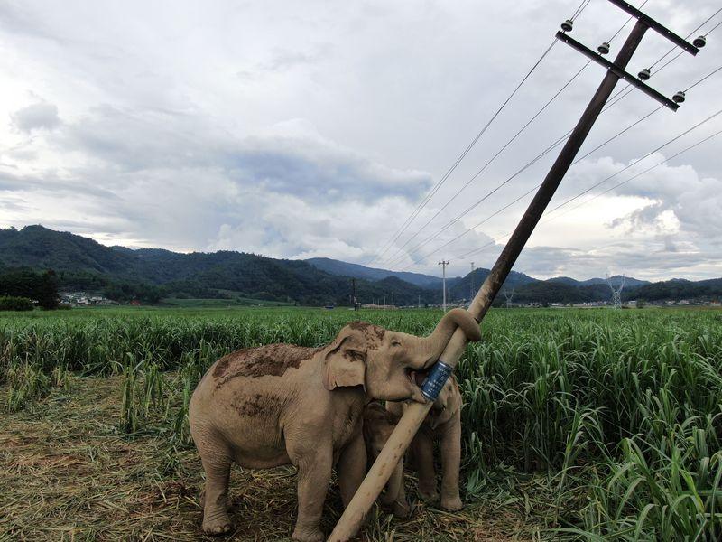 China Focus: Living with elephants - Xinhua | English.news.cn