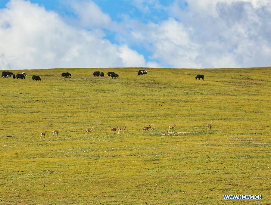 CHINA-QINGHAI-JIATANG GRASSLAND-NATURE-OBSERVING (CN)