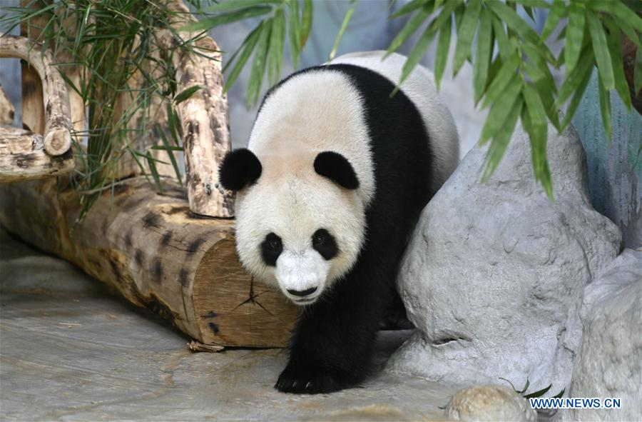 CHINA-HAINAN-HAIKOU-GIANT PANDAS-BIRTHDAY (CN)