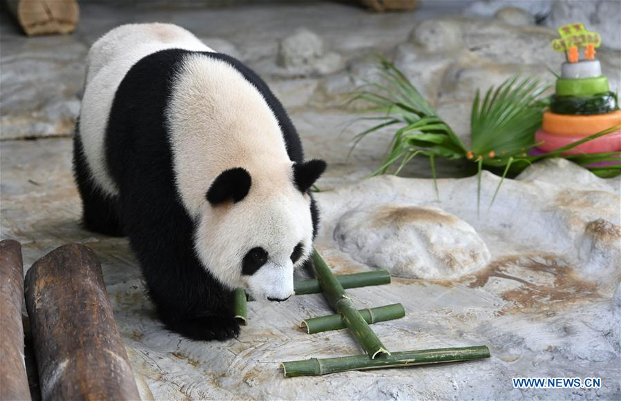 CHINA-HAINAN-HAIKOU-GIANT PANDAS-BIRTHDAY (CN)
