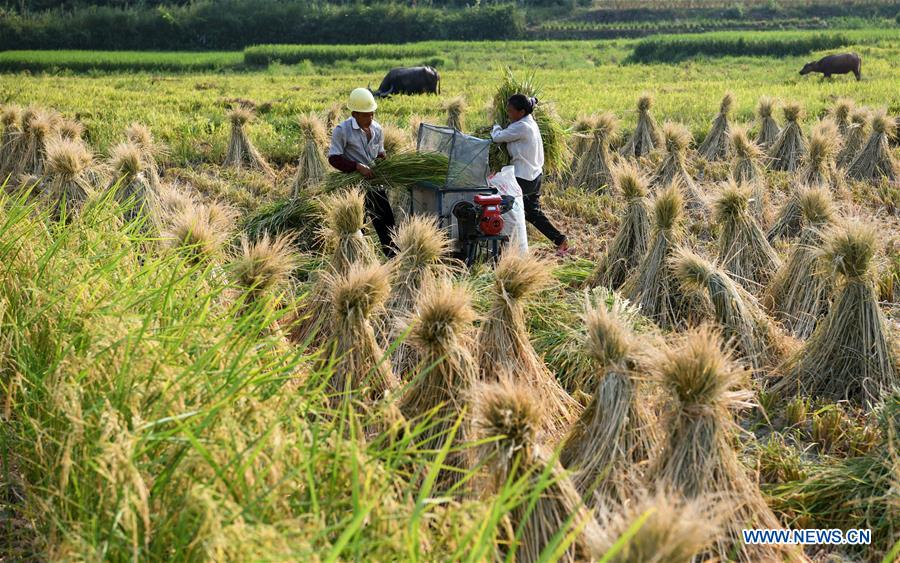 Hybrid Rice Seeds Enter Harvest Season In Southwest China S