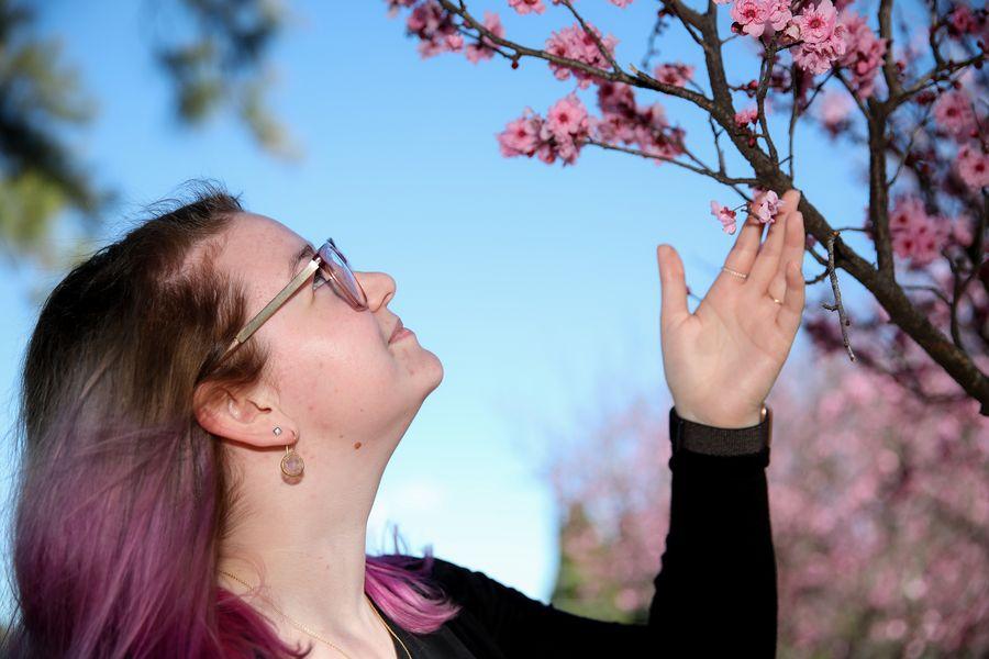 Feature: Cherry blossoms, kangaroos associate with springtime in Australia's Sydney - Xinhua | English.news.cn
