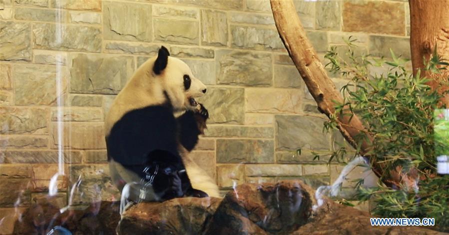 AUSTRALIA-ADELAIDE-GIANT PANDAS-BIRTHDAY