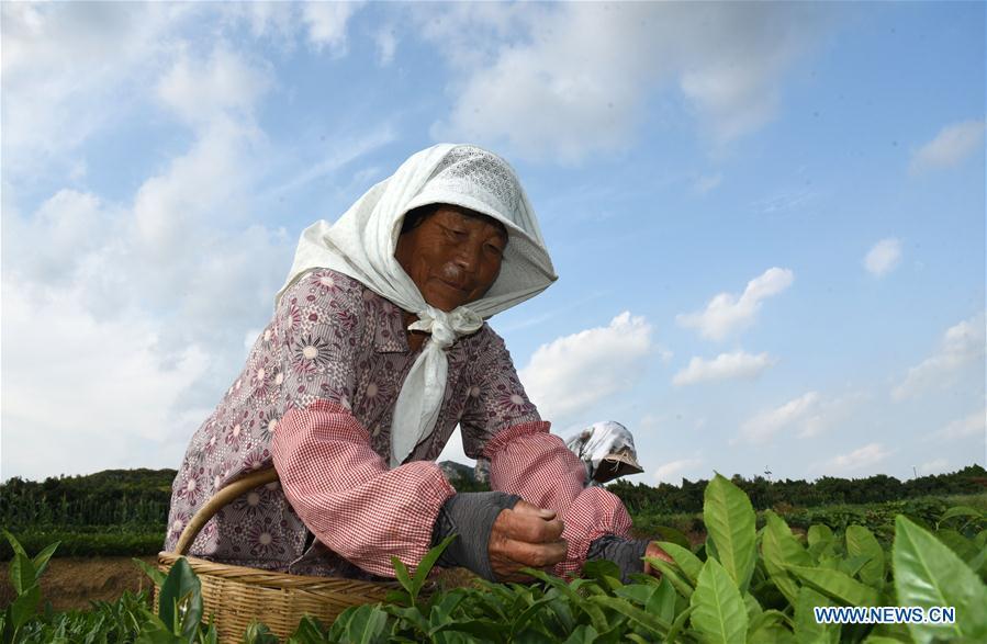 CHINA-SHANDONG-RIZHAO-TEA LEAF PICKING (CN)