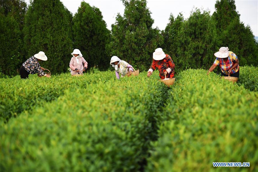 CHINA-SHANDONG-RIZHAO-TEA LEAF PICKING (CN)