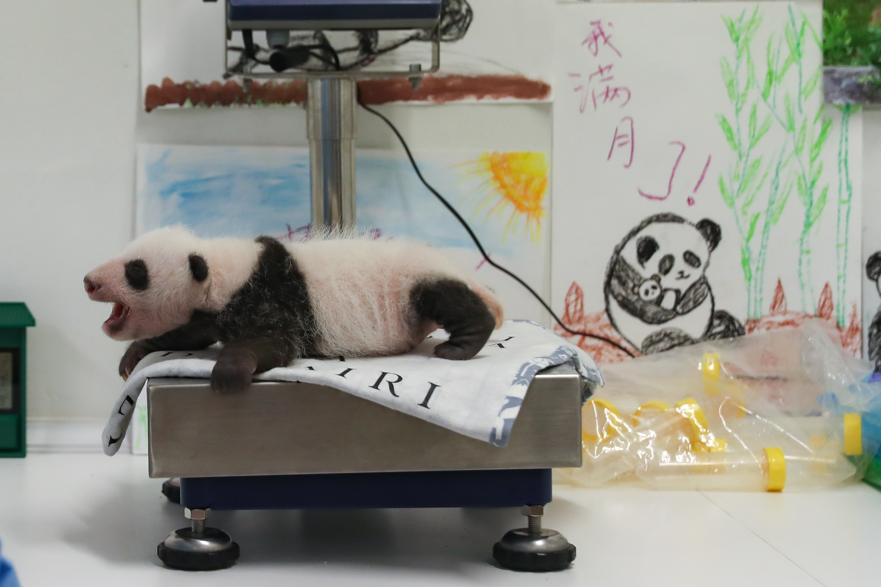 Happy one-month birthday to Belgium-born twin panda cubs - Xinhua   English.news.cn