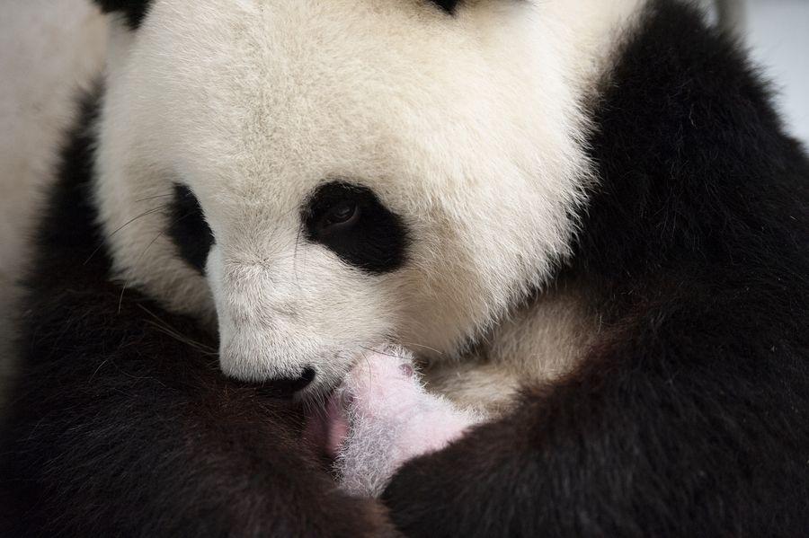 "Berlin's twin panda newborns develop ""magnificently"" - Xinhua   English.news.cn"