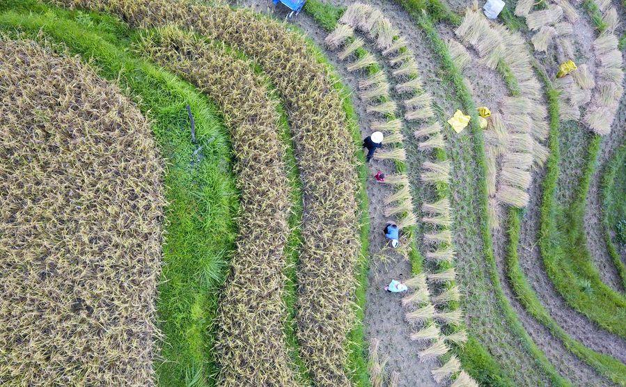 Featuring terraced fields, Rongjiang County in SW China's Guizhou saw rice harvest - Xinhua   English.news.cn