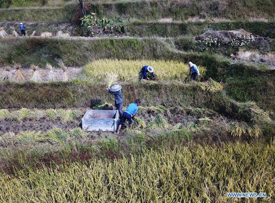 CHINA-HUNAN-XINHUA-RICE HARVEST (CN)