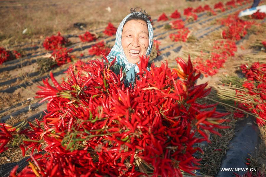 CHINA-LIAONING-FAKU-CHILI PEPPER-HARVEST (CN)