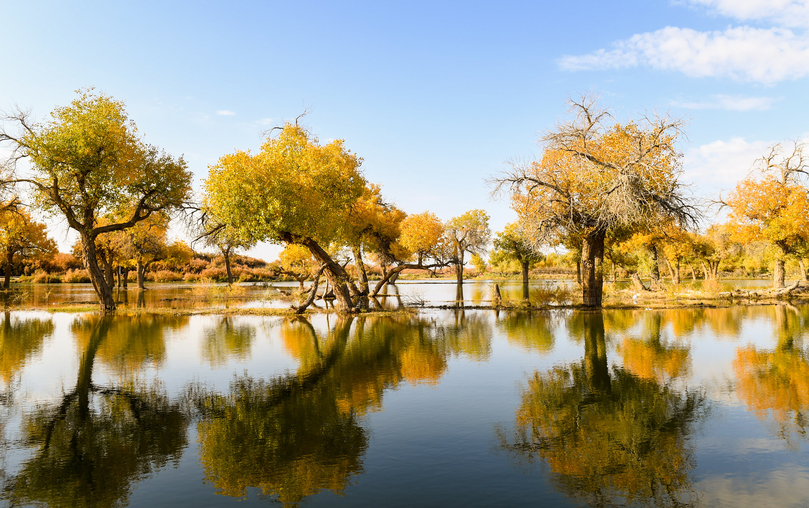 A sea of golden leaves in N China's Inner Mongolia - Xinhua   English.news.cn