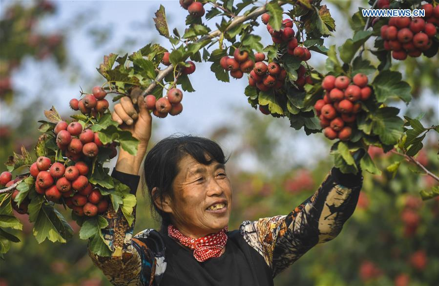 CHINA-HEBEI-HAWTHORN FRUITS-HARVEST (CN)