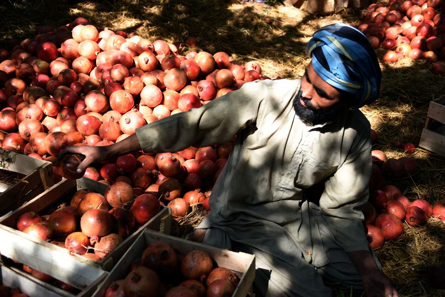 Afghan farmers eye China with optimism for exports of pomegranates - Xinhua | English.news.cn