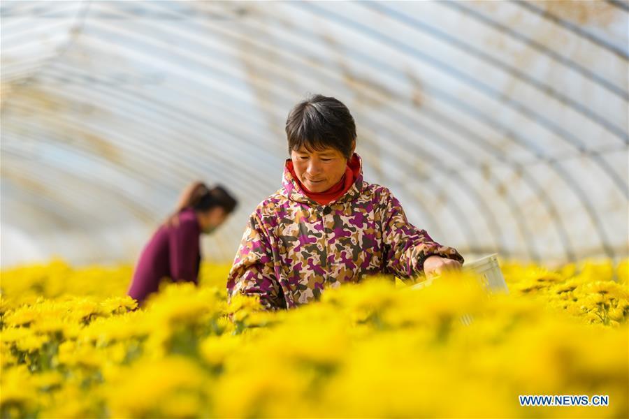 CHINA-HEBEI-CHRYSANTHEMUM-HARVEST (CN)