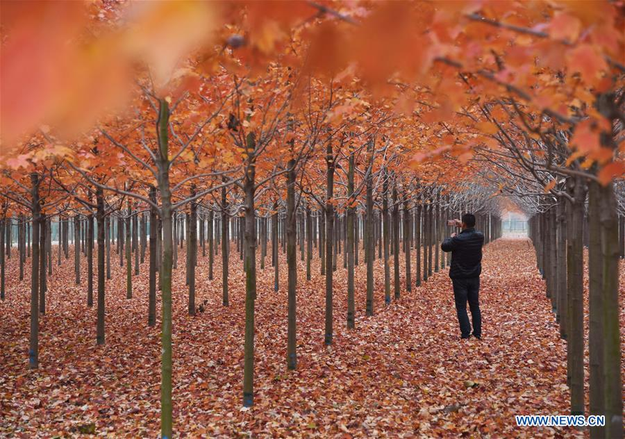 CHINA-SHANDONG-RIZHAO-MAPLE TREES (CN)