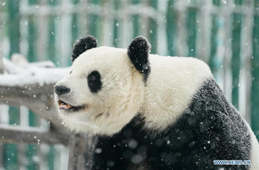 CHINA-HEILONGJIANG-SHANGZHI-SNOW-PANDA (CN)