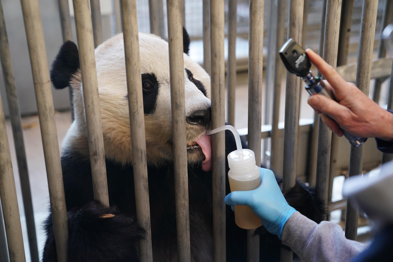 Xinhua Headlines: Bei Bei's farewell party epitomizes love for giant pandas, China-U.S. friendship - Xinhua | English.news.cn