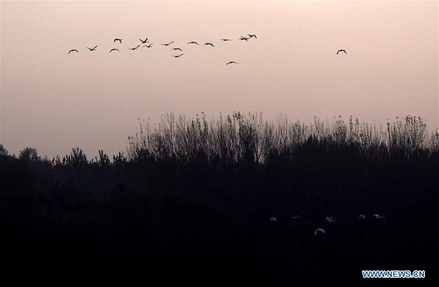 CHINA-HENAN-SANMENXIA-WHITE SWANS (CN)