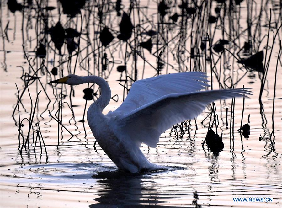 CHINA-HENAN-SANMENXIA-WHITE SWANS (CN)