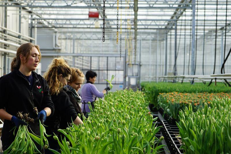 Xinhua Headlines: Air Silk Road ferries blooming Dutch tulips to China - Xinhua | English.news.cn