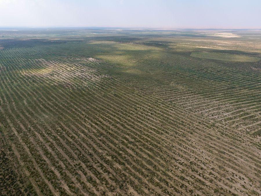 Sand-control licorice yields economic benefits in China's Inner Mongolia - Xinhua | English.news.cn