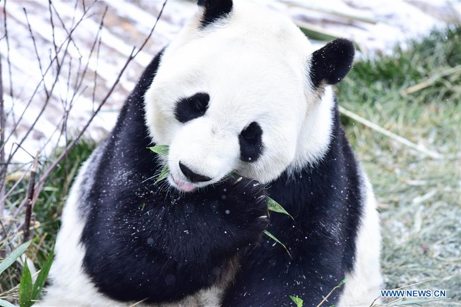 CHINA-QINGHAI-XINING-GIANT PANDA-SNOW (CN)