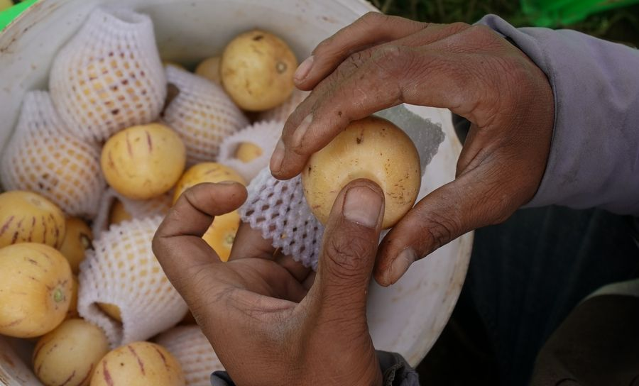 Fruit of riches: villagers in SW China shake off poverty with pepino melons - Xinhua | English.news.cn